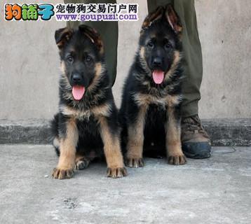 爱警犬 选德牧 成都诚德犬业纯种德牧三个月幼犬待售中