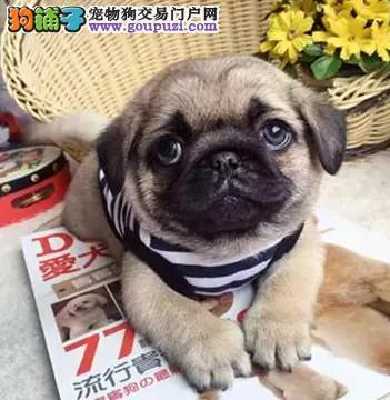 武汉自家繁殖的纯种巴哥犬找主人赛级品质保障