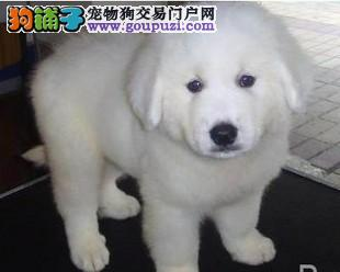 CKU注册犬业专业基地繁殖双冠血统纯种大白熊质保
