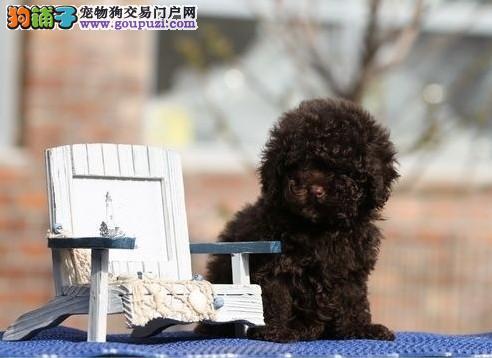 ♡专业打造 贵宾幼犬 诚信交易 品质保证