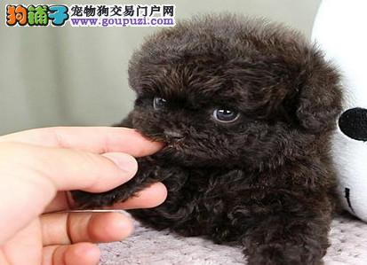 纯度第一 品质第一 价位最低~泰迪幼犬 健康质保