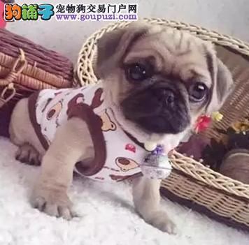 深圳那里有卖八哥犬 深圳什么地方有出售巴哥
