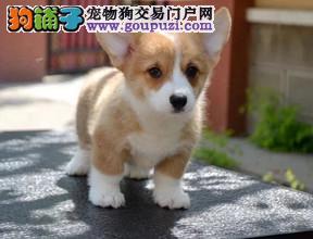 纯种赛级柯基犬 打完三针证书芯片齐全可签协议 可看狗