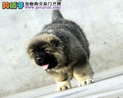 俄罗斯高加索 高加索价格 高加索哪里买 高加索犬舍