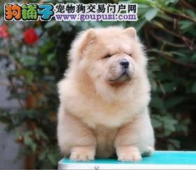 CKU认证犬舍 实物拍摄 松狮幼犬 终身质保