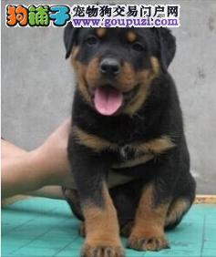 顶级护卫猛犬 纯种 罗威纳犬 可以办理血统证书