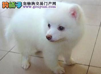 火爆出售血统纯正的青岛银狐犬赛级品质血统保障