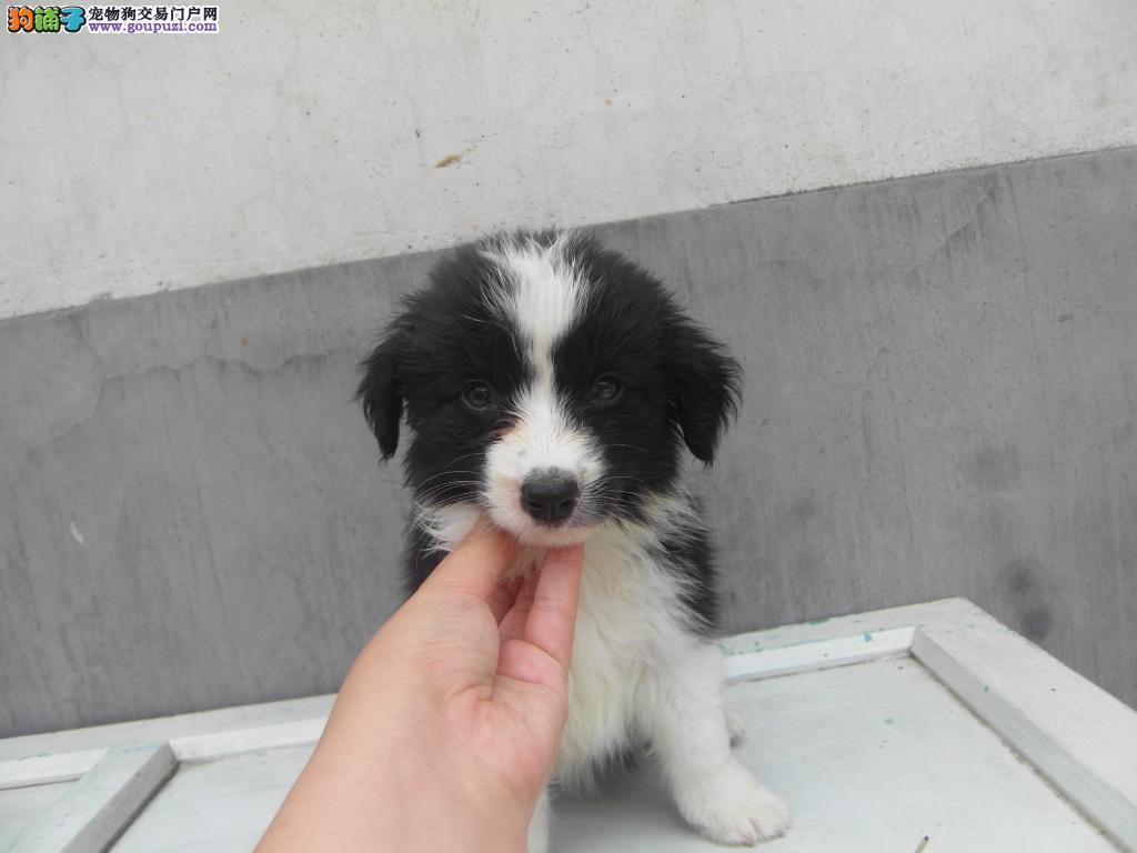 青岛/青岛地区长期出售边牧幼犬[两个月公母全有]
