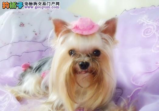 南通出售纯种约克夏幼犬,保证血统,身体健康