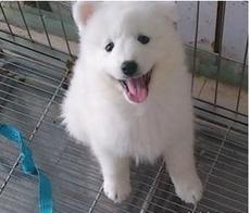 CKU认证犬舍 专业出售极品 银狐犬幼犬品相一流疫苗齐全