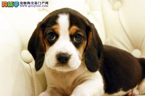 哪里有比格犬出售的 纯种比格幼犬多少钱一只