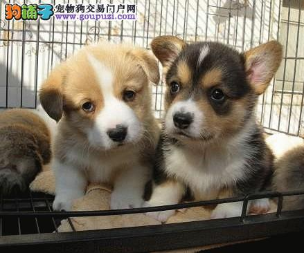 柯基幼犬公母都有 二色三色萌倒很多宠物犬爱好者的哦