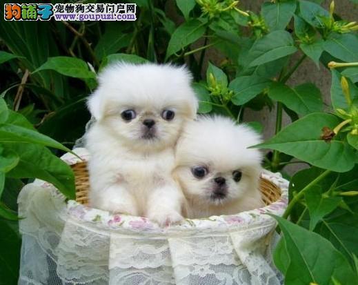 吐鲁番哪里有卖京巴犬 什么有卖纯种的最好的京吧犬
