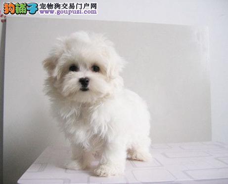 CKU犬舍认证出售高品质马尔济斯喜欢它的快来