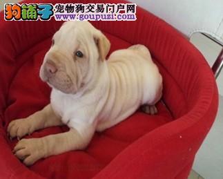 出售沙皮狗宝宝 品质优良血统纯正 签订正规合同
