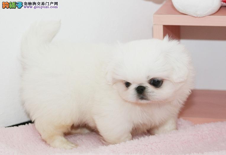 出售纯种健康的京巴幼犬微信看狗真实照片包纯