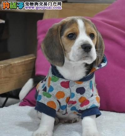 武汉家养赛级比格犬宝宝品质纯正国际血统证书