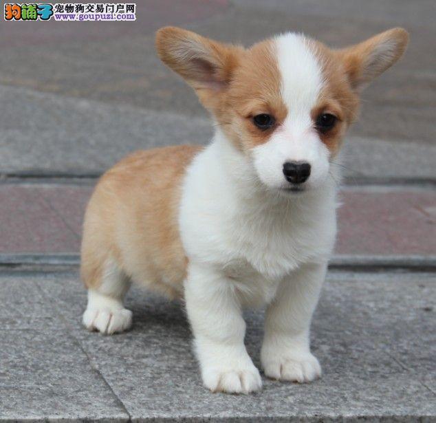 高品质柯基宝宝 价格美丽品质优良 提供养狗指导