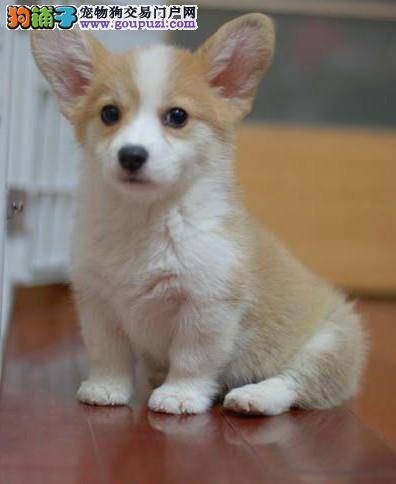 英国女王的爱犬威尔士柯基幼犬 纯种柯基犬出售