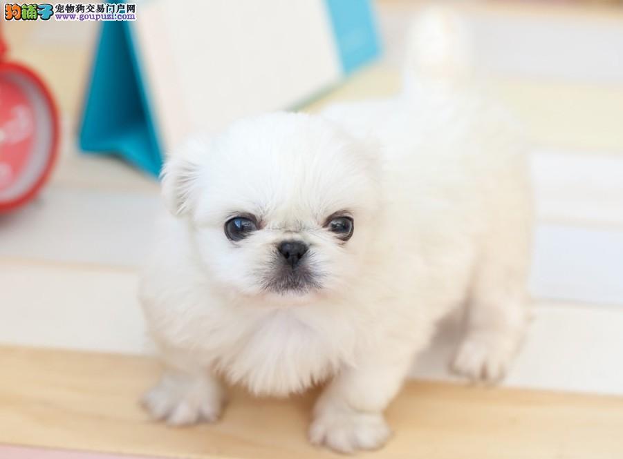实体店低价促销赛级京巴幼犬我们承诺售后三包