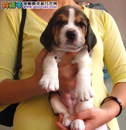 上海哪里出售比格犬上海比格好养吗比格价格