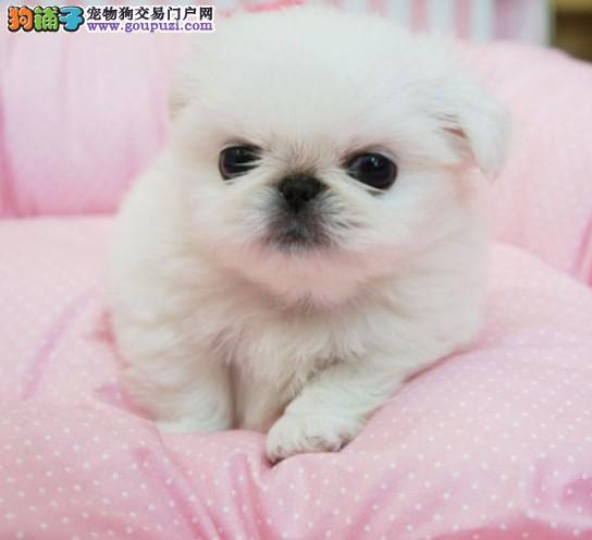 家养纯种京巴幼犬宝宝 高品质保质量 可签协议