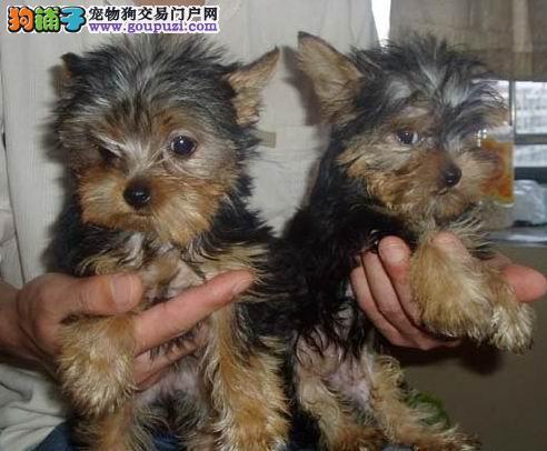 深圳最大狗场 出售高品质金头银背约克夏宝宝三个月