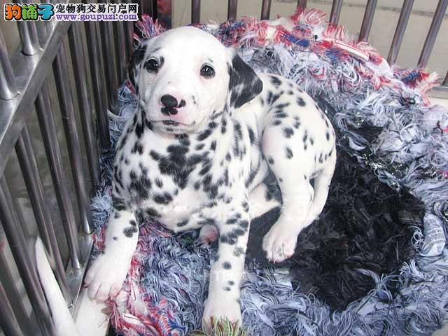 珠海规模最大狗场 出售斑点狗,大麦町犬 聪明伶俐