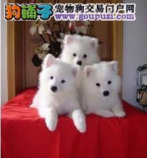 松江/纯种日本尖嘴银狐犬白色狐狸狗 [三个月公母全有][三个月公母全有...