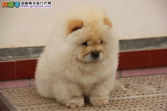 重庆本地最畅销宠物犬 松狮宝宝 好品质、有保障