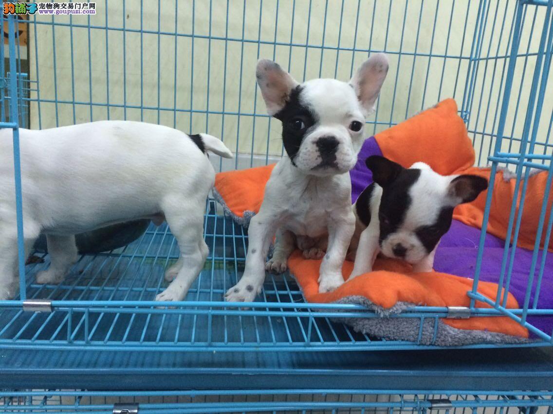 重庆地区 最大最专业 的英法斗牛犬繁育基地实体店销售