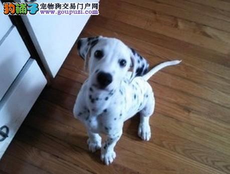 精品纯种贺州斑点狗出售质量三包欢迎您的指导