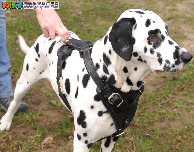 斑点狗 不以价格惊天下 但以品质惊世人质保三年支持送货上门