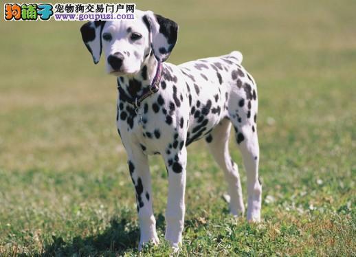 顶级优秀的纯种三明斑点狗热销中微信咨询看狗狗视频