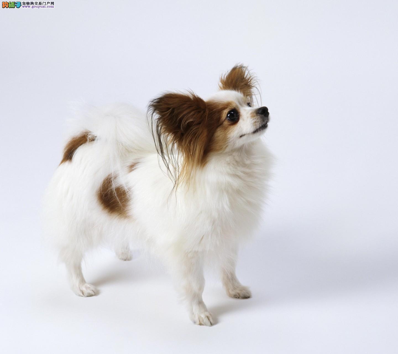 美丽动人的蝴蝶犬幼犬转让 呼和浩特蝴蝶犬