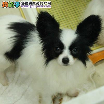 出售家养蝴蝶幼犬 保证健康纯种 欢迎来场挑选
