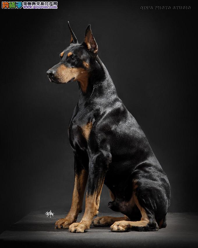 杜宾犬繁殖基地现售优质德系杜宾幼犬 终身质保