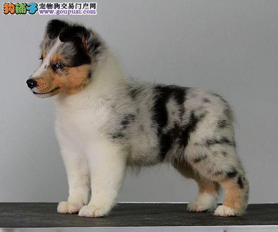 朝阳出售极品喜乐蒂幼犬完美品相签署质保合同