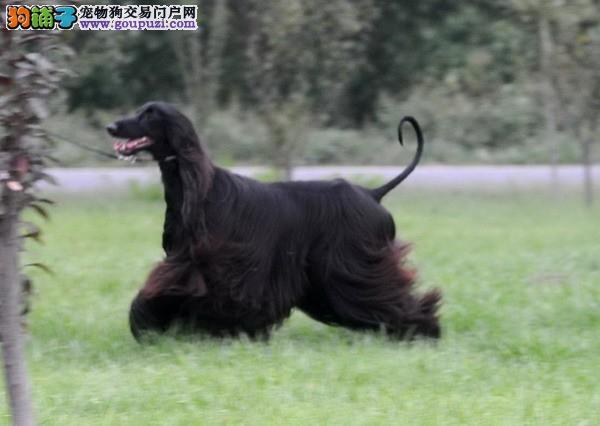 兰州家养赛级阿富汗猎犬宝宝品质纯正签订保障协议