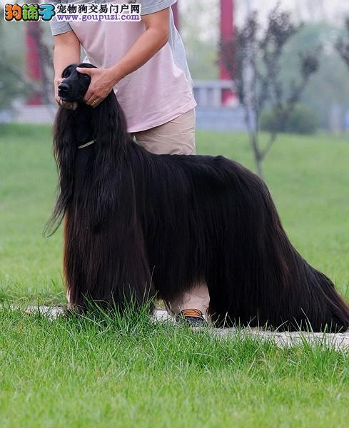 纯种阿富汗猎犬幼崽,CKU认证绝对保障,等您接它回家