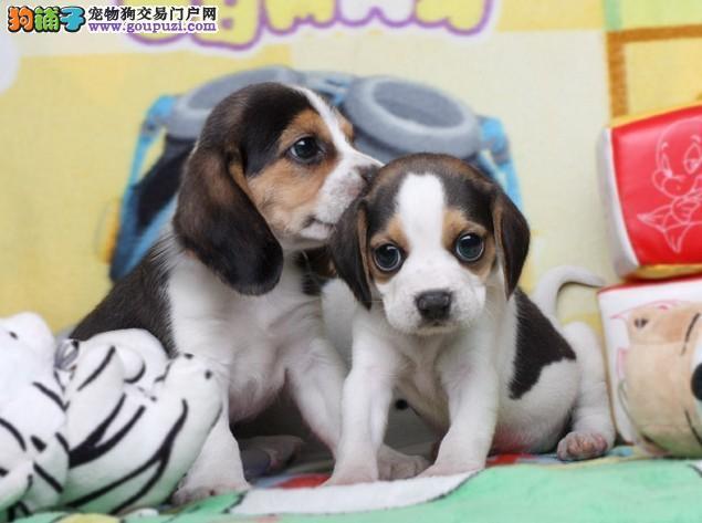 专业繁殖纯种比格犬疫苗齐全购犬可签协议