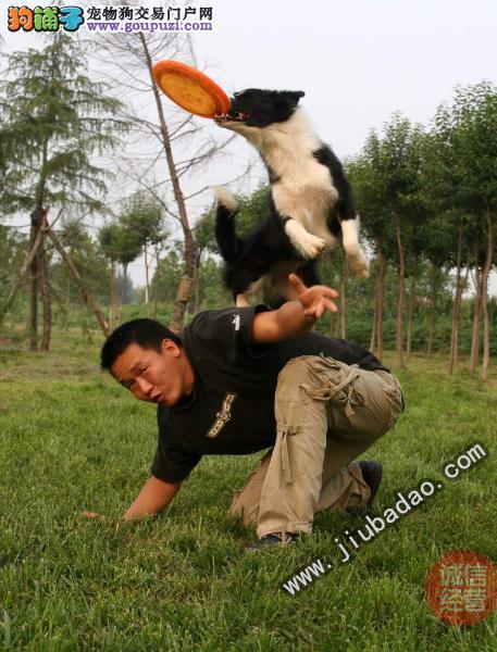汉宫血统、七白到位、智商第一、边境牧羊犬