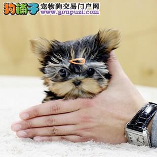 济南出售极品约克夏幼犬完美品相当日付款包邮