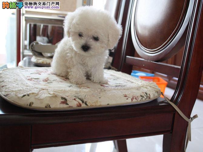 中国大陆蒲公英直系后代:小娘 比熊犬 、待售中