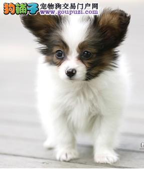 权威机构认证犬舍 专业培育蝴蝶犬幼犬质量三包完美售后