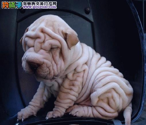 国际注册犬舍 出售极品赛级沙皮狗幼犬可签合同刷卡