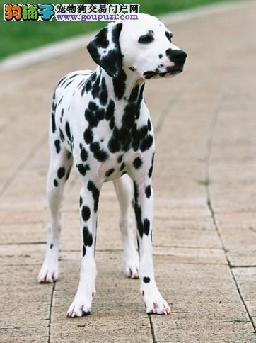 高品质斑点狗幼犬,专业繁殖包质量,签订终身合同