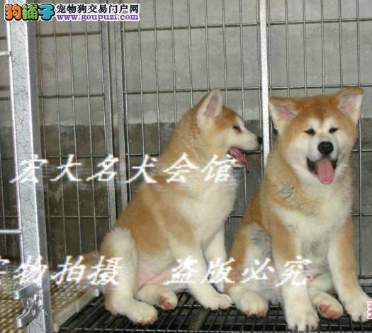 顶级血系秋田犬宝宝。接受预定外地可以托运
