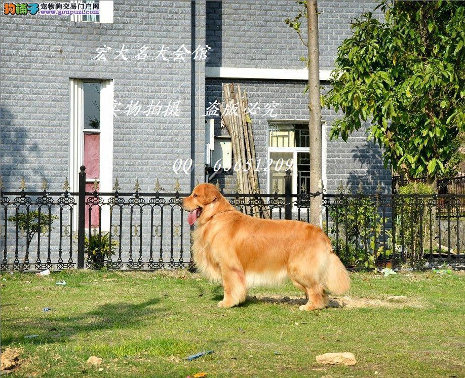 专业的犬舍繁殖纯种大头金毛幼犬2 3个多月的都有