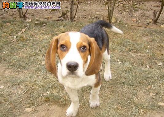 家养比格犬出售 公母都有纯种健康 寻找它的主人